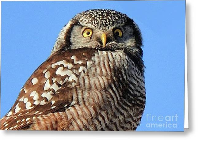 Northern Hawk-owl Greeting Card