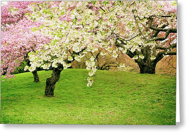 Cherry Blossom Zen Greeting Card