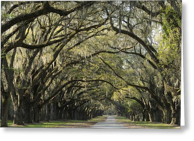 Greeting Card featuring the photograph Oak Tree Arch by Bradford Martin