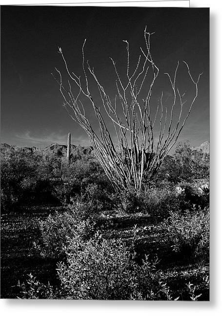 Ocotillo Black And White Greeting Card