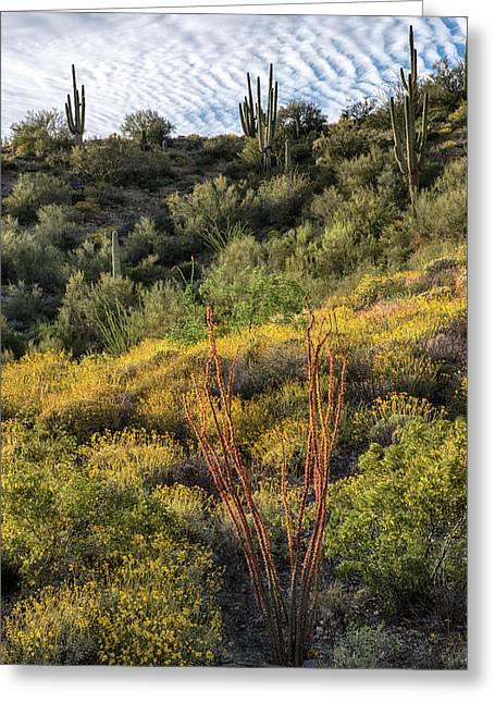 Ocotillo Cactus Spring Blooms In Arizona Greeting Card