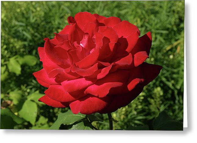 Oh The Blood Red Rose Greeting Card