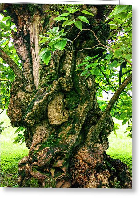 Old Catalpa Tree _ Chatham_3893_18 Greeting Card