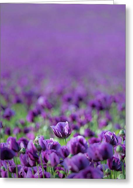 One In A Million - Purple Poppy Greeting Card