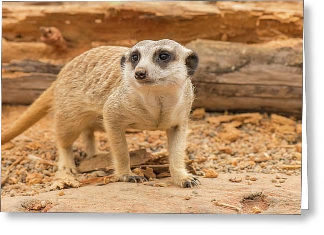 One Meerkat Looking Around. Greeting Card