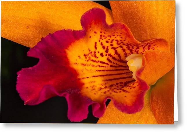 Orchid 479 Greeting Card