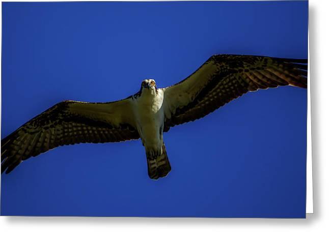 Osprey Glide In Blue Greeting Card