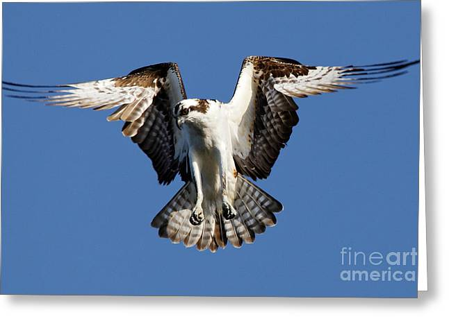 Greeting Card featuring the photograph Osprey by Sue Harper