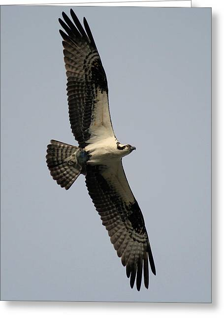 Greeting Card featuring the photograph Osprey With Fish by Rick Veldman