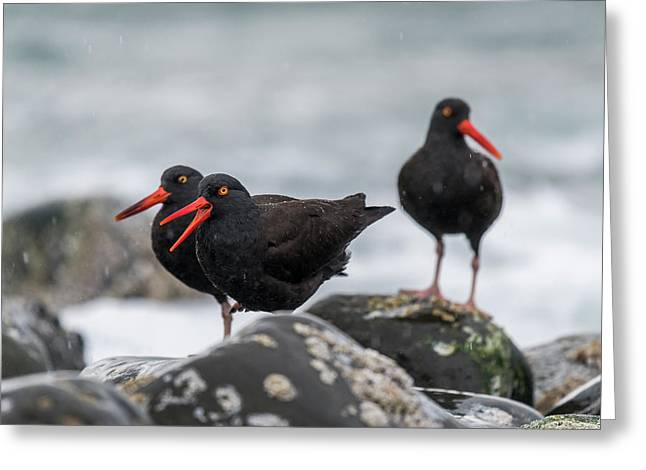 Oystercatchers In The Rain Greeting Card
