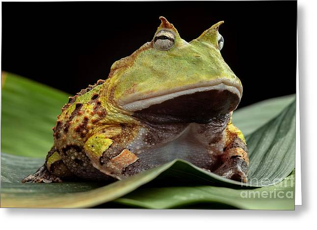 Pacman Frog Or Toad, South American Greeting Card