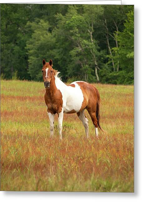 Paint Horse In Pasture Greeting Card
