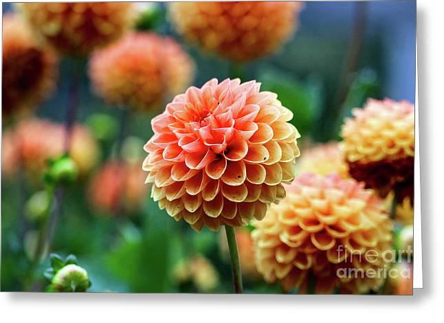 Peach Dahlias Greeting Card