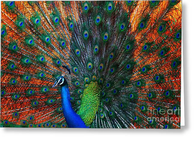 Peacock Showing Feathers On The Bright Greeting Card