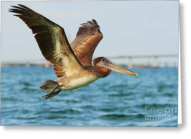 Pelican Starting In The Blue Water Greeting Card