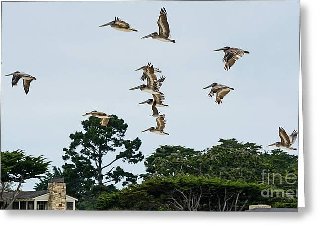 Pelicans Flying Above Homes Greeting Card