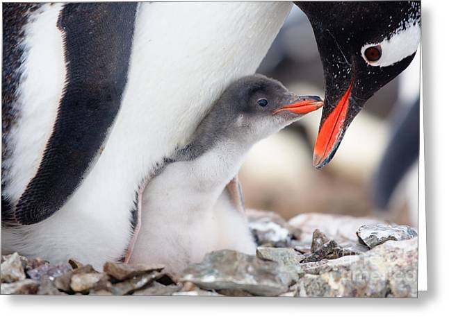 Penguin In Its Nest To Protect Her Cub Greeting Card