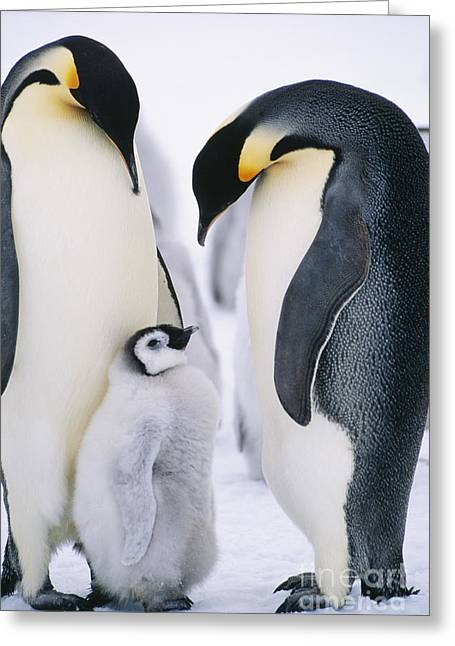 Penguins With Chick Standing On Snow Greeting Card