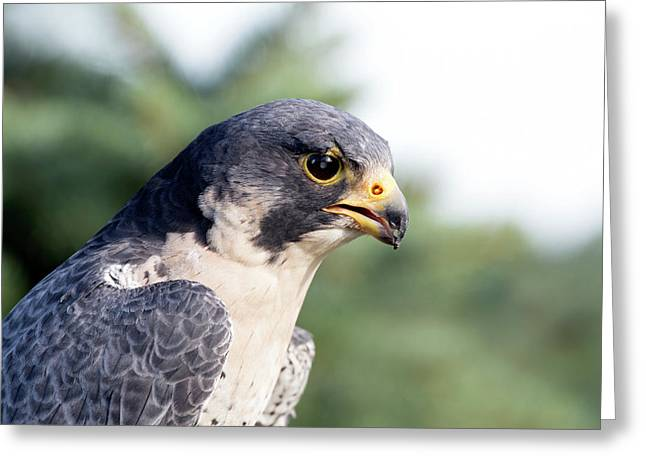 Greeting Card featuring the photograph Peregrine Falcon by Rick Veldman
