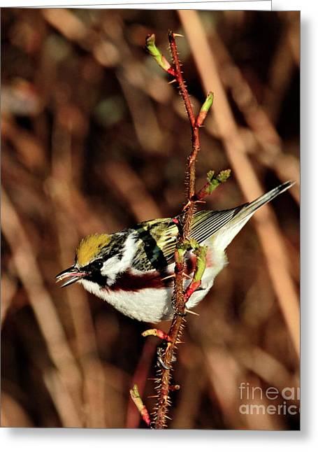 Perky Little Warbler Greeting Card