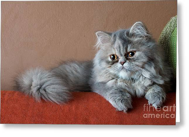 Persian Cat On The Couch Greeting Card