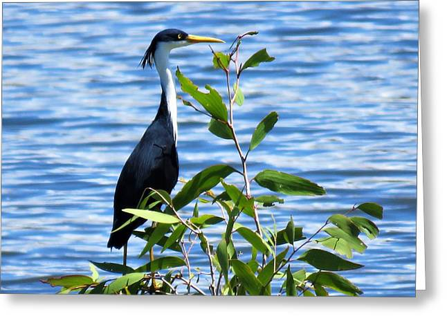 Pied Heron Tree Greeting Card