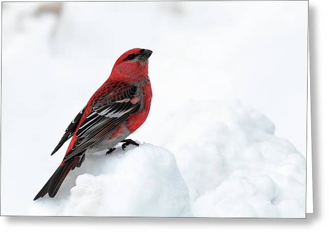 Greeting Card featuring the photograph Pine Grosbeak In The Snow by Susan Rissi Tregoning