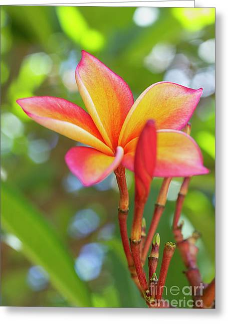 Greeting Card featuring the photograph Pink And Yellow Plumeria Flower by Charmian Vistaunet