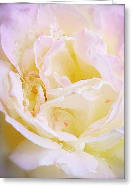 Pink Blush Rose Greeting Card