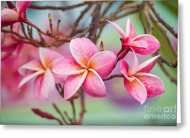 Pink Color Frangipani Flower Beauty Greeting Card by Focusstocker