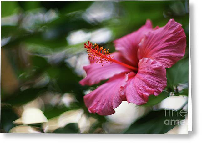 Greeting Card featuring the photograph Pink Hibiscus Flower by Pablo Avanzini