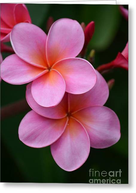 Pink Plumerias  Greeting Card