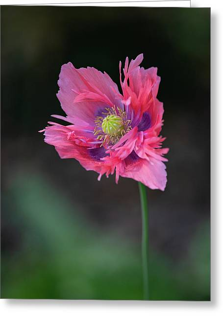 Greeting Card featuring the photograph Pink Poppy by Dale Kincaid