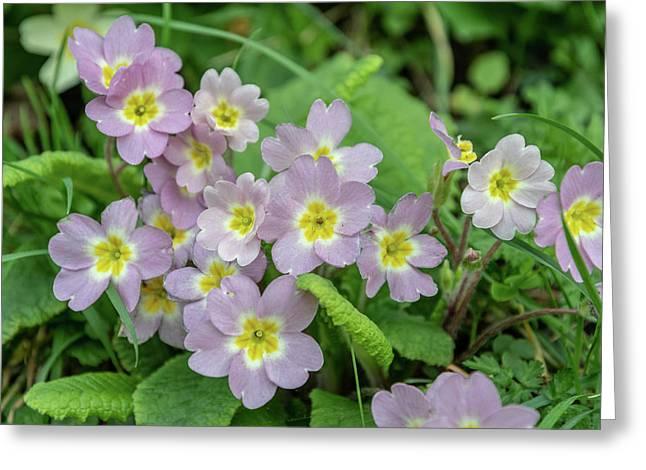 Pink Primroses In Devon Greeting Card