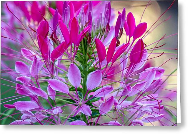 Pink Queen Flower Greeting Card