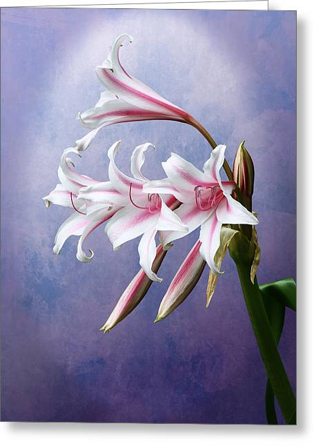 Pink Striped White Lily Flowers Greeting Card