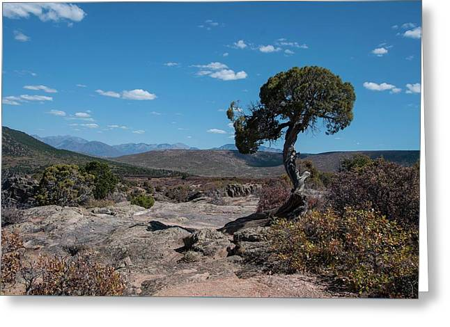 Pinyon Pine With North Rim In Background Black Canyon Of The Gunnison Greeting Card