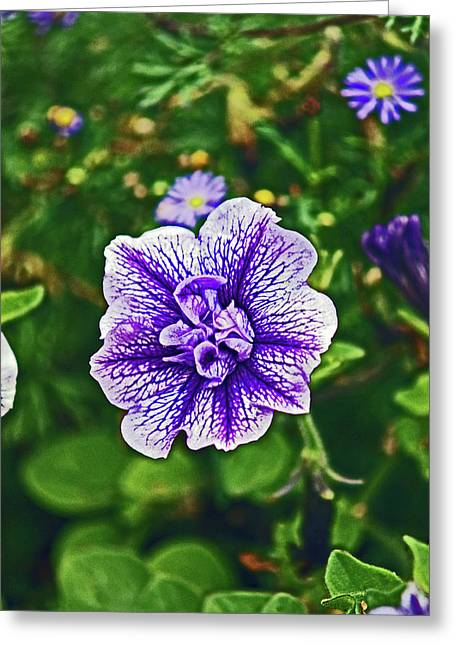 Pitlochry.  Purple Petunia. Greeting Card
