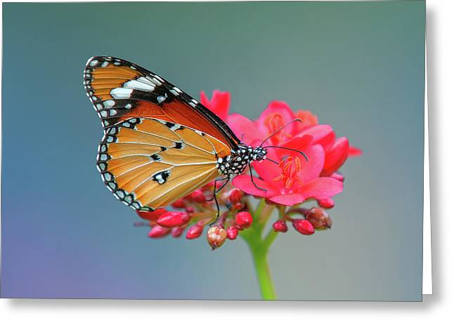 Plain Tiger Or African Monarch Butterfly Dthn0246 Greeting Card
