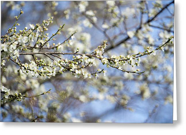 Plum Blossoms - 19 4907 Greeting Card