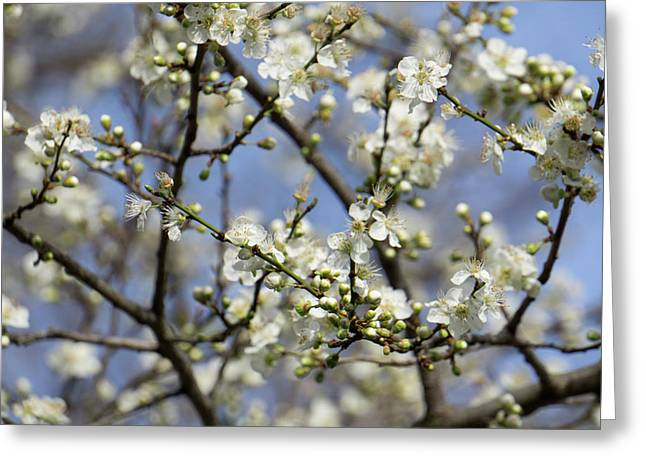Plum Blossoms - 19 4915 Greeting Card