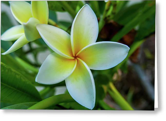 Plumeria In Bloom Greeting Card