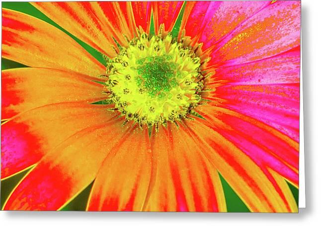 Pop Art Osteospermum 2 Greeting Card