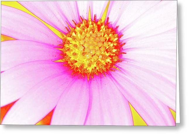 Pop Art Osteospermum 3 Greeting Card