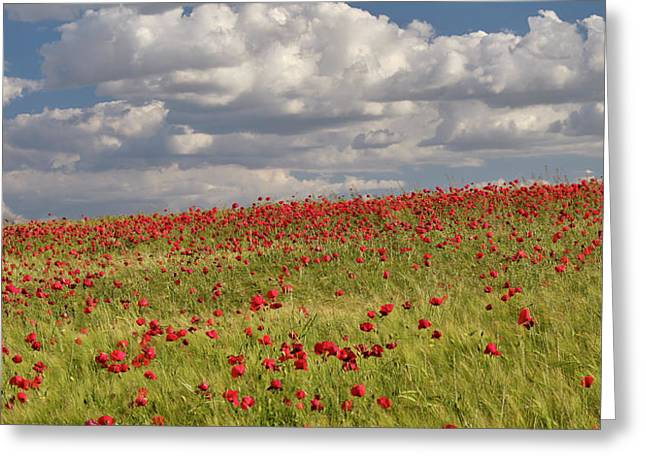Poppies Fileds. Panoramic Greeting Card