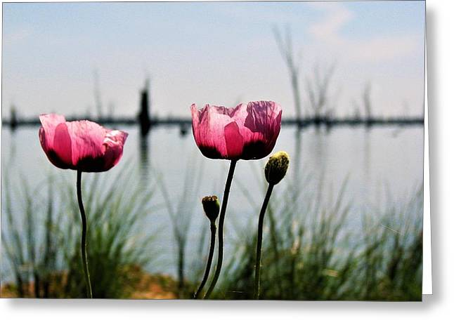 Poppies On Lake Mulwala 2 Greeting Card