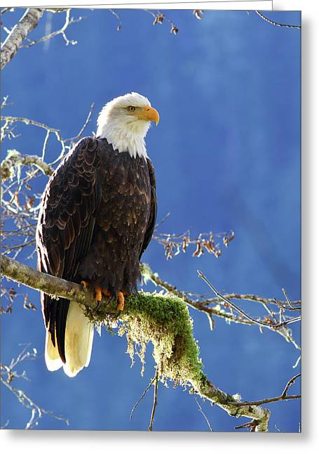 Portrait Of A Backlit Bald Eagle In Squamish Greeting Card