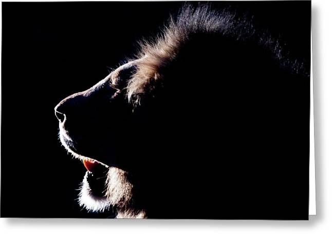Portrait Of A Backlit Male African Lion Greeting Card