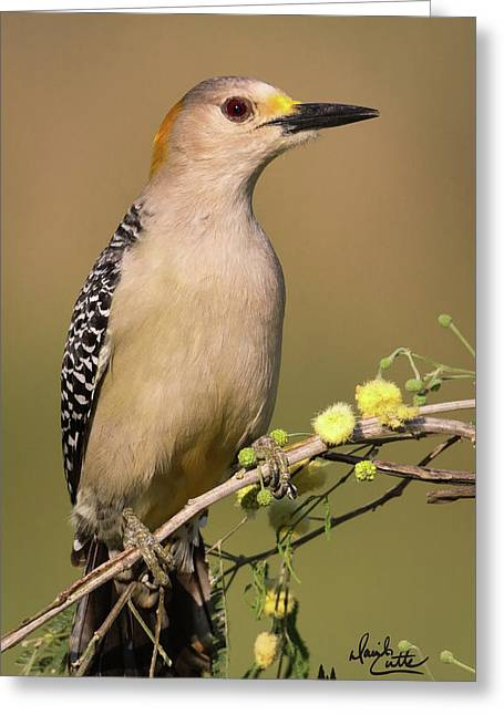 Portrait Of A Golden-fronted Woodpecker Greeting Card