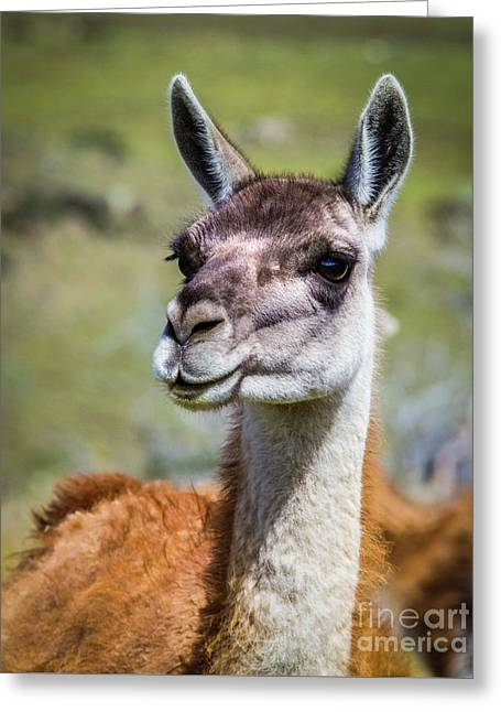 Portrait Of A Guanaco, Patagonia Greeting Card